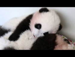 "Panda Cubs - ""When Your Brother Doesn't Let You Nap"""