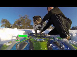 Brandy The Pug Goes Snowboarding