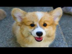 10 Funniest Corgi Videos