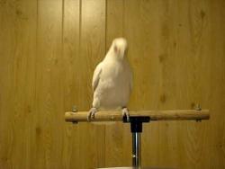 Dancing Parrot Frostie