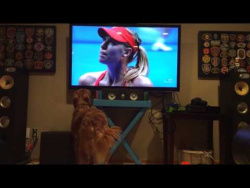 Golden Retriever can't get enough of Australian Open tennis