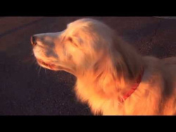 Golden retriever imitates fire truck