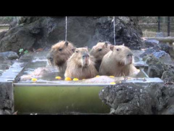 Capybaras taking a wonderfully pleasant hot bath in cold weather