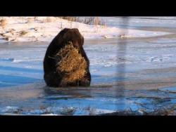 Bear vs. Hay Bale