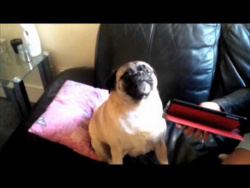 Pug Shouts 'Help' When Confronted With iPad