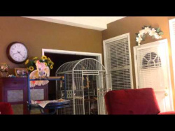 Peaches, The Cockatoo, Mimicking A Couple Arguing...Hilarious!!