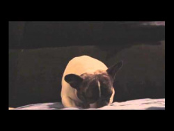 French Bulldog struggles to stay awake