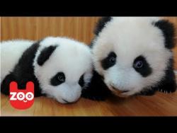 Baby Panda Twins
