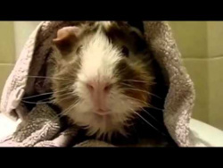 An Interview With a Guinea Pig