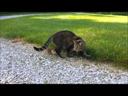 Cat attacks chipmunk, chipmunk gets revenge