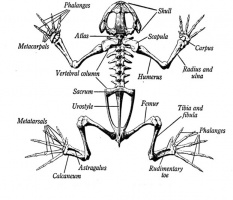 EXTERNAL ANATOMY OF FROG OR TOAD