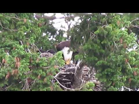 Eagles Bring Baby Hawk Into Their Nest Planning To Eat Him, Decide To Adopt The Bird Instead