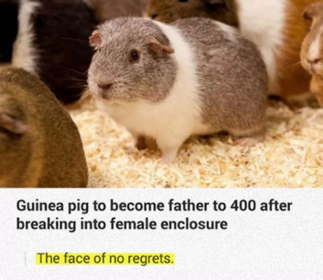 No Regrets Guinea Pig