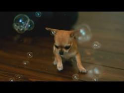 Chihuahua Bubbles