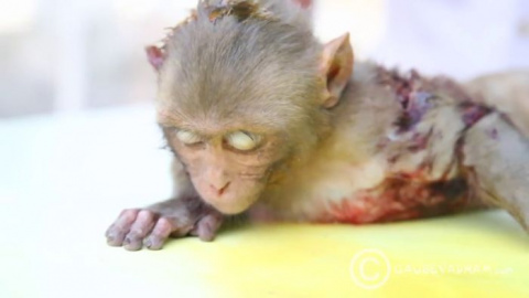 A baby monkey defeated death…