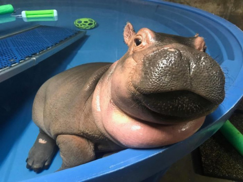 Fiona The Hippo Playing In T…