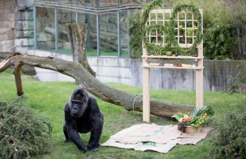 World's Oldest Gorilla Marks 60th Birthday