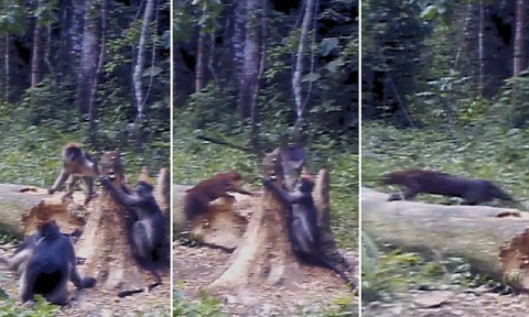 African golden cat attacks in rare monkeys Trap camera footage