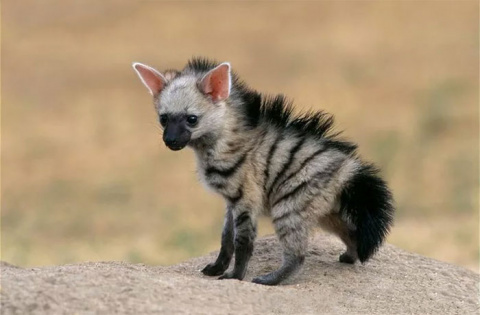 Have You Heard About Aardwolves? They're Here To Instantly Make Your Monday Better