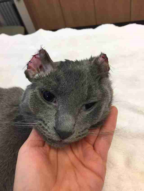 Kitten Who Lost Part Of His Ears Just Wanted Rescuers To Love Him