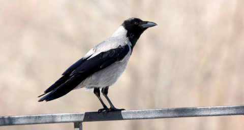 Crows may be able to make analogies