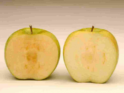 Apples modified to resist browning