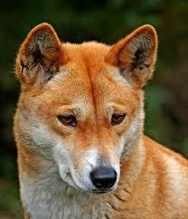 Dingo (privatephoto)