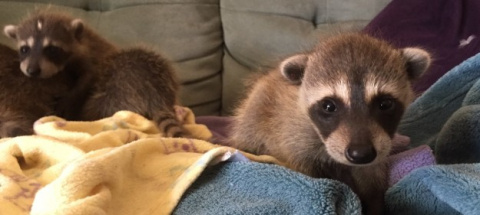 These Baby Raccoons Were Accidentally Transported Across The Country
