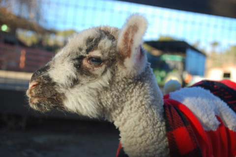 This Adorable Three-Legged Lamb Loves Sweaters And Will Steal Your Heart