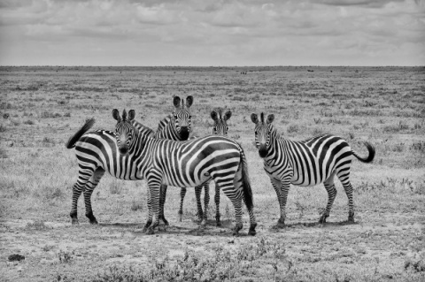 Zebra is not black and white