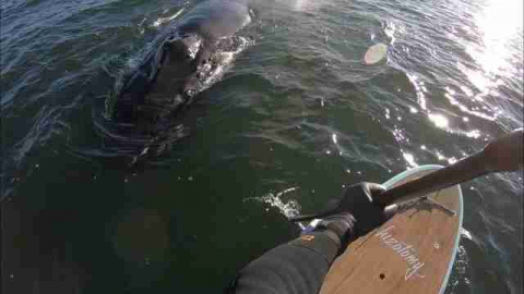 Paddleboarder Gets Special Visit From Giant, Curious Whale