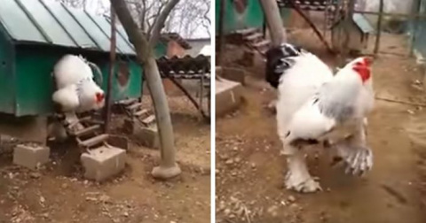 People Are Freaking Out About How GIANT This Chicken Is