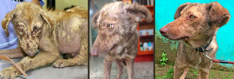 The Incredible Transformation Of Enrique A Street Dog From Guatemala